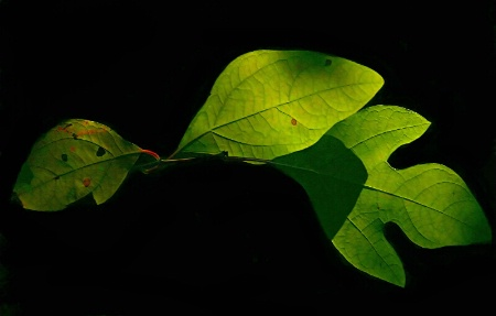 Sassafras Leaves in Light and Shadow