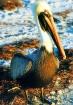 FL - Pelican
