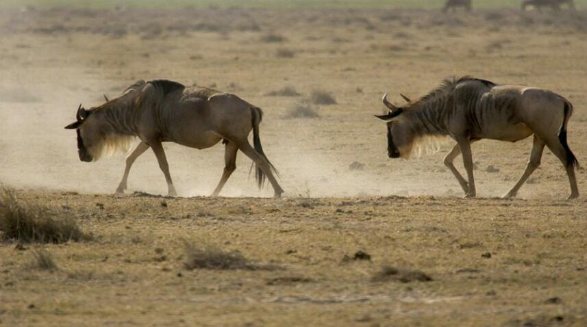 Wildebeest - ID: 564561 © James E. Nelson