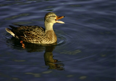 The Little Duckling