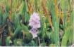 FL - Water flower