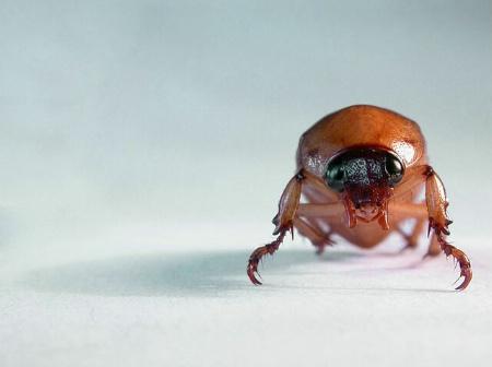 Head On Beetle