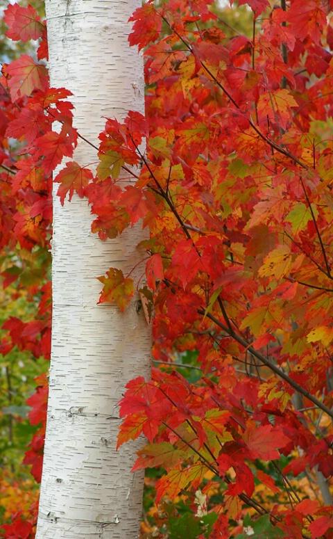 Maple leaves on Shelburne White Birch