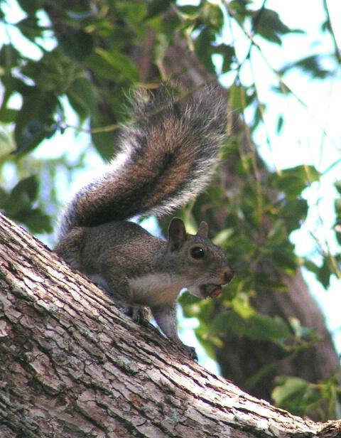 Brian's Squirrel