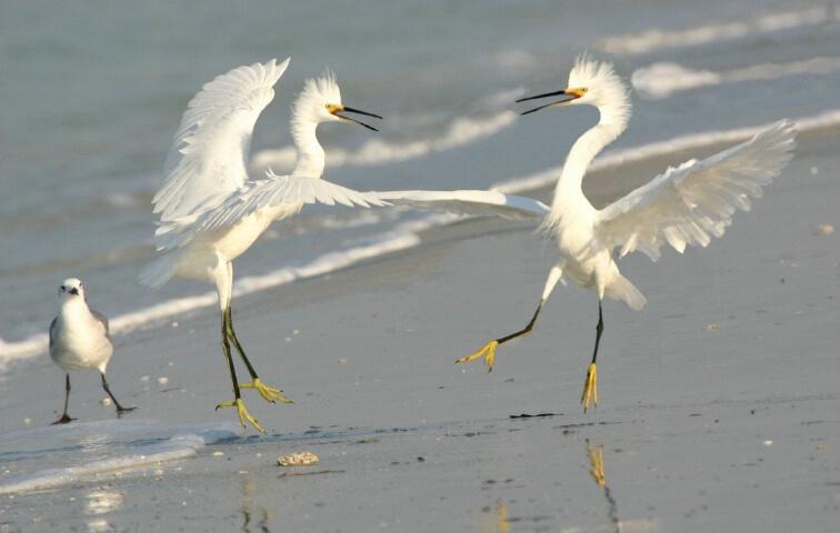 Dancing Snowy Egrets