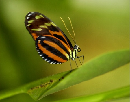 Tiger Longwing