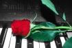 Rose on Piano Key...