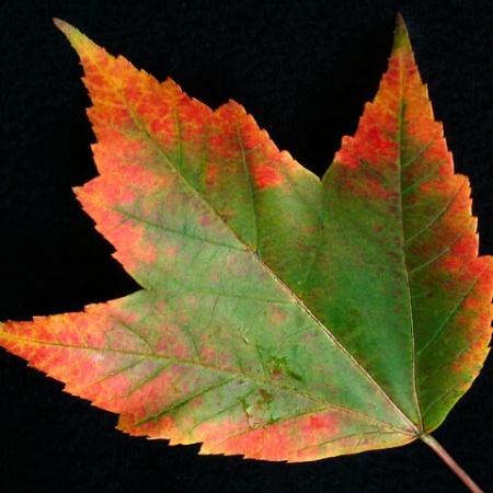 Leaf #16