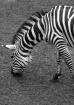 Zebra 1333 BW 750...