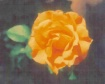 Color of a rose