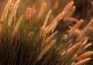 Backlit Grasses