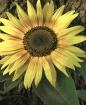 Antique Sunflower