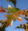 Stubborn Leaf