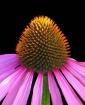 Purple Coneflower...