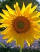 Sunflower in Umbr...