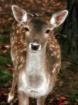 doe, a deer, a fe...