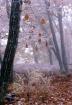 Frozen Oak Leaves...