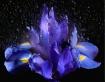 Shower The Iris