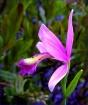 Rose Pogonia