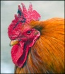 Rooster