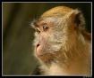 KL Macaque
