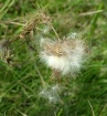 Thistle Gone By