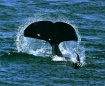 Orca Lobtail