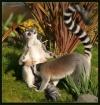 Lewd Lemurs