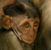 KL Baby Macaque