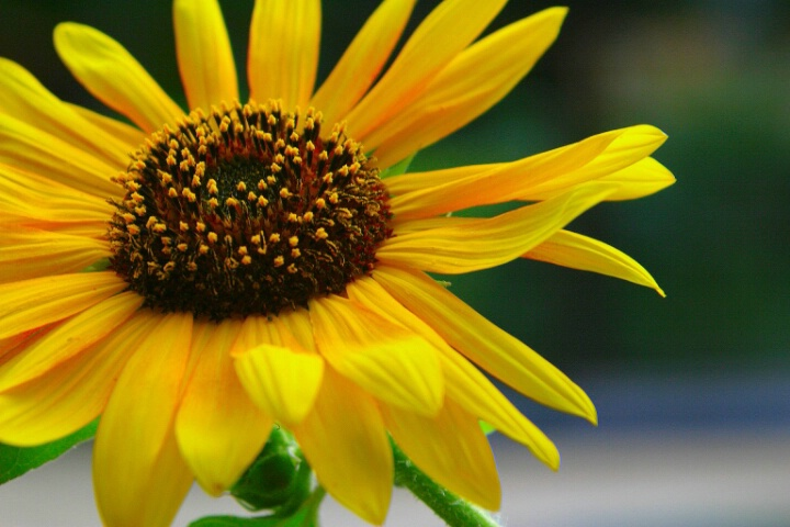 Sunflower - ID: 697769 © Cynthia M. Wiles