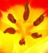 Starburst tulip