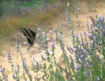 Butterfly On a Pa...