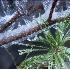 © Robert A. Burns PhotoID# 705909: Frozen Pine in Stream 1-23-05