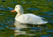 One White Duck