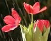 Tulips in the Rai...