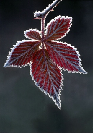 Frosted Raspberry Leaf