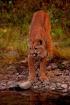 Mountain Lion (Mo...