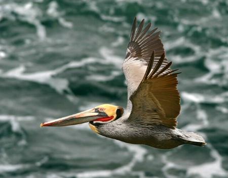 Flight-of-the-pelican