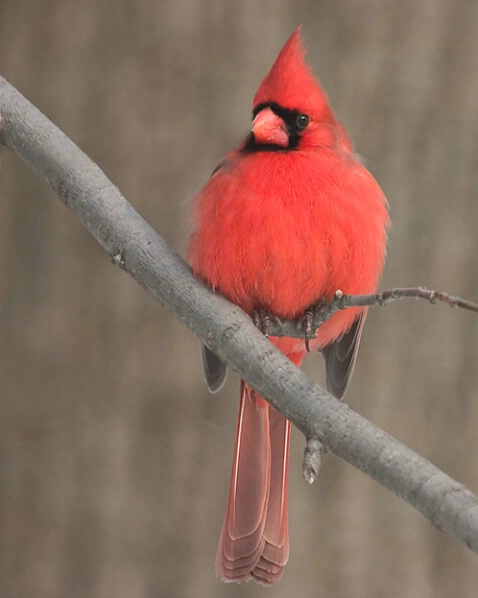 Northern Cardinal - Resubmitted
