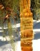 Backlit Birchbark