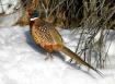 Ring neck pheasan...