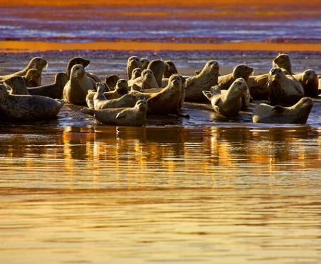 Seals at Bolinas Lagoon, CA