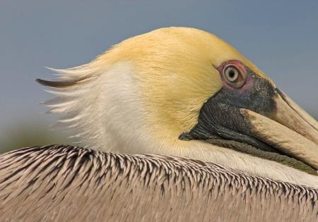Pelican coif