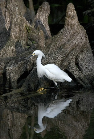 Snowy Egret Steppin' Out