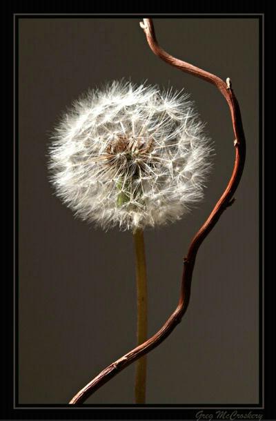 Dandelion - ID: 778779 © Greg McCroskery