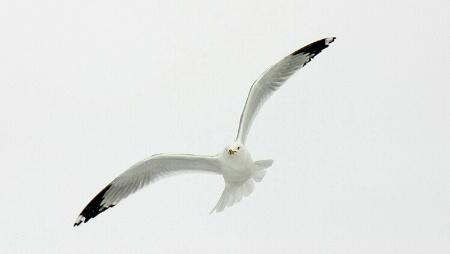 ~ Gull in Flight ~