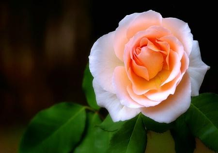 Mums Rose