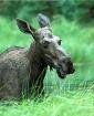 Drippy Moose