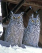 Great-horned Owls...