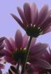 Back Light Purple